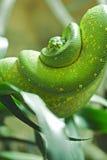зеленый питон Стоковое Изображение