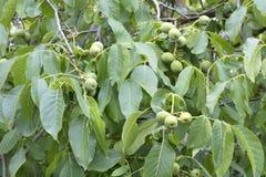 Зеленый плодоовощ грецкого ореха на молодом ярком ом-зелен дереве Стоковые Изображения