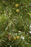 Зеленый плодоовощ грецкого ореха Стоковая Фотография