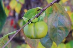 зеленый плодоовощ kaki на дереве Стоковое фото RF