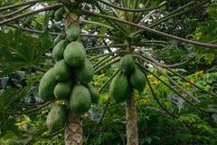Зеленый плод папапайи зреет на плантации деревьев стоковые фотографии rf