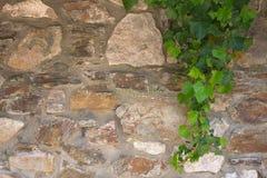 Зеленый плющ дальше stonewall Стоковое Фото