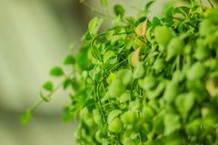 Зеленый плющ покидает предпосылка dave (varieg nummularia Dischidia Стоковые Фото
