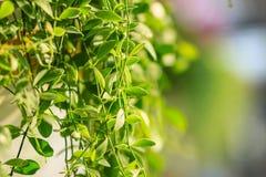 Зеленый плющ покидает предпосылка dave (varieg nummularia Dischidia Стоковые Изображения RF