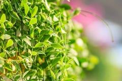 Зеленый плющ покидает предпосылка dave (varieg nummularia Dischidia Стоковая Фотография RF