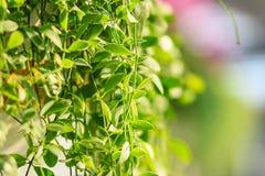 Зеленый плющ покидает предпосылка dave (varieg nummularia Dischidia Стоковые Изображения