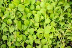 Зеленый плющ покидает предпосылка dave (varieg nummularia Dischidia Стоковое Изображение