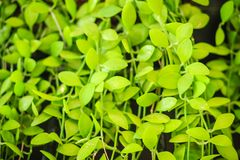 Зеленый плющ покидает предпосылка dave (varieg nummularia Dischidia Стоковая Фотография
