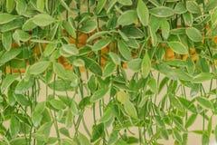 Зеленый плющ покидает предпосылка dave (varieg nummularia Dischidia Стоковые Фотографии RF