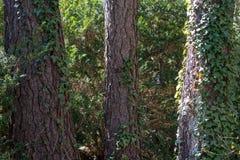 Зеленый плющ растет вверх хоботы сосен стоковая фотография rf