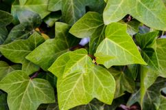 зеленый плющ Стоковое Фото