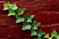 зеленый плющ Стоковые Изображения RF