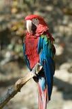 зеленый подогнали macaw, котор Стоковые Фото