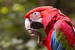 зеленый подогнали macaw, котор стоковое фото rf