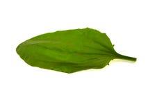 зеленый подорожник листьев Стоковая Фотография