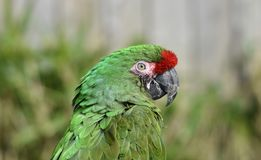 Зеленый попугай/большие зеленые ара/ambiguus Ara стоковые изображения rf