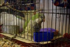 Зеленый попугай внутри клетки смотря к снаружи стоковое фото