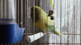 Зеленый попугай в клетке видеоматериал