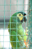 Зеленый попугай в клетке Стоковое Изображение RF