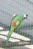 Зеленый попугай в клетке Стоковое Изображение