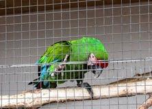 Зеленый попугай длиннохвостого попугая в клетке на зоопарке Стоковое Изображение