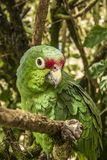 Зеленый попугай сидя на ветви дерева стоковая фотография