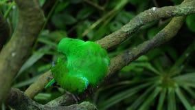 Зеленый попугай Eclectus видеоматериал