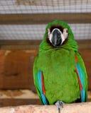 зеленый попыгай Стоковое Фото