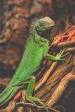 Зеленый портрет животных игуаны Стоковое Изображение RF