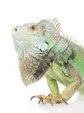 зеленый портрет игуаны Стоковые Фотографии RF