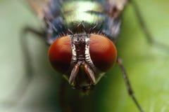 Зеленый портрет Bottlefly Стоковое Изображение RF