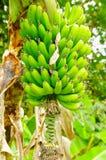 Зеленый пук бананов подорожника на дереве Банан подорожника плодоовощ деликатеса общий в латино-американской диете Стоковое фото RF