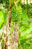 Зеленый пук бананов подорожника на дереве Банан подорожника плодоовощ деликатеса общий в латино-американской диете Стоковое Фото