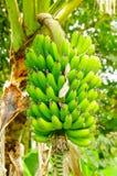 Зеленый пук бананов подорожника на дереве Банан подорожника плодоовощ деликатеса общий в латино-американской диете Стоковые Фото