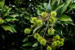Зеленый рамбутан на дереве в лесе стоковое фото rf