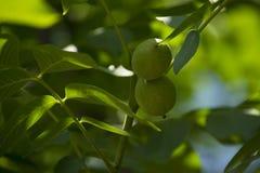 Зеленый расти грецких орехов Стоковое Изображение RF