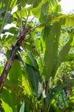 Зеленый растущий пук бананов на плантации банана стоковые фотографии rf