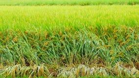 Зеленый рис видеоматериал