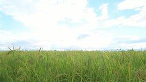 Зеленый рис fields, ландшафты красивых видов в Таиланде сток-видео