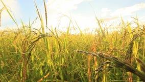 Зеленый рис fields, ландшафты красивых видов в Таиланде акции видеоматериалы