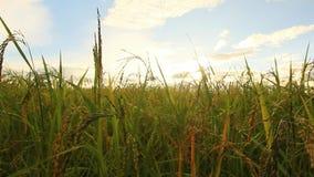 Зеленый рис fields, ландшафты красивых видов в Таиланде видеоматериал