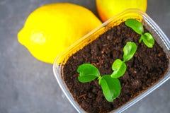 Зеленый росток лимона в баке Саженец от косточек Зрелый плодоовощ лимона рядом с деревом Стоковое Фото