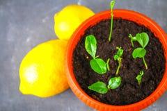 Зеленый росток лимона в баке Саженец от косточек Зрелый плодоовощ лимона рядом с деревом Стоковые Фото
