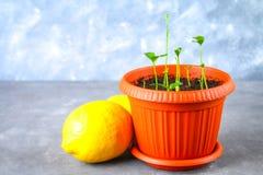 Зеленый росток лимона в баке Саженец от косточек Зрелый плодоовощ лимона рядом с деревом Стоковая Фотография RF