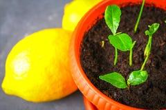 Зеленый росток лимона в баке Саженец от косточек Зрелый плодоовощ лимона рядом с деревом Стоковая Фотография