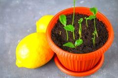 Зеленый росток лимона в баке Саженец от косточек Зрелый плодоовощ лимона рядом с деревом Стоковое Изображение RF