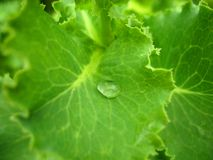 Зеленый салат и падение Стоковое Изображение