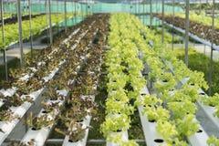 Зеленый салат, овощ зеленого цвета гидропоники культивирования в ферме Стоковые Фотографии RF