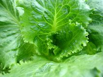 Зеленый салат Стоковые Изображения