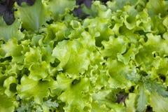 зеленый салат Стоковое Изображение